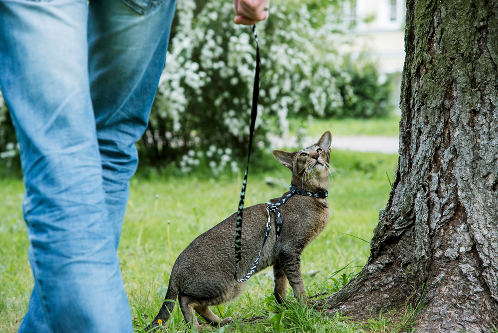 cat leash_286805771